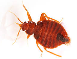 Bed Bugs Smell Do Bed Bugs Stink Arrow Exterminating