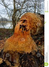 thick tree stump beaver bitten stock photo image 87317744