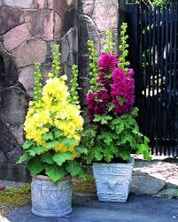 alcea or hollyhock u2013 start an easy backyard garden project with