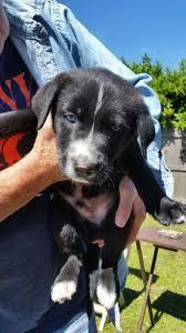 belgian sheepdog rescue groups mousse u0027s web page