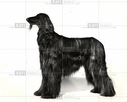 afghan hound utah science nature page 101 historic images