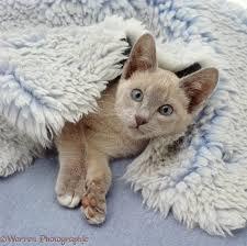 Kitten Bed Lilac Tonkinese Kitten Lying In A Blue Vet Bed Photo Wp34903