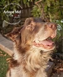 australian shepherd san diego bob is an australian shepherd adoptable from aussie rescue san
