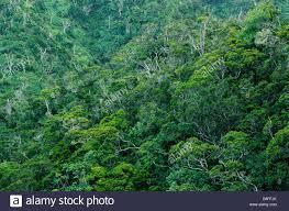 tropical rainforest of hawaiian tree species at kokee state