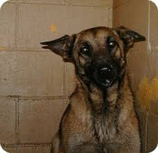 belgian malinois rescue va it u0027s raining cats and dogs in west virginia 5 1 12 dogs at kill