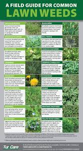 a field guide for common lawn weeds turf care supply corporation for more in depth information on select weeds to ensure your lawn stays beautiful this season visit our weed of the weeks archive