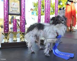 affenpinscher india in focus the canine a protected class photos and images getty