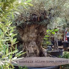 a range of olive trees