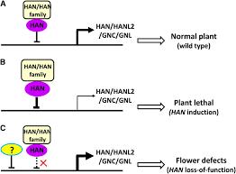 transcription repressor hanaba taranu controls flower development