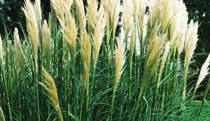 ornament how to plant ornamental grasses stunning ornamental