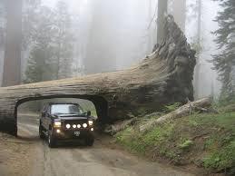 Chandelier Tree California Destination Drive Through Trees Oh Ranger