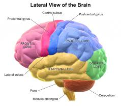 right lateral view of the human brain articles physiological