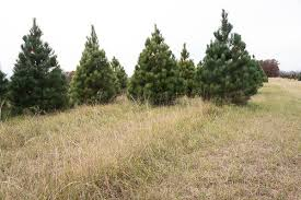 Natural Christmas Tree For Sale - choose and cut or fresh pre cut norway pine christmas trees