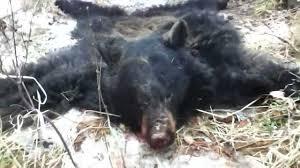 black bear rug youtube