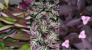 lot of 3 types of pretty purple wandering jew sailor