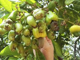 cashew nut information u2013 tips for growing cashew nuts