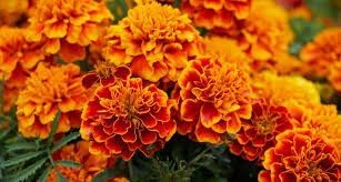 Plants That Repel Aphids by Do Marigolds Repel Mosquitoes Planting Marigold To Keep Bugs Away