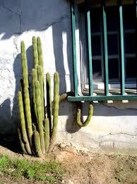 balms mission cactus