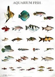 freshwater aquarium fish names and pictures flying fish 1001