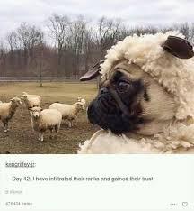 Depressed Pug Meme - doggo memes to cure depression again dank memes amino