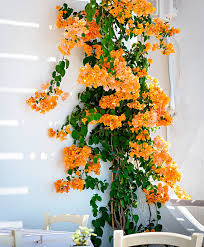 buy a container plant now bougainvillea yellow bakker com