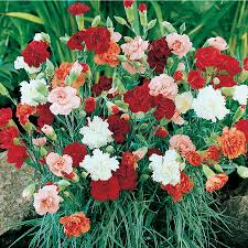 shop 1 gallon carnations l5774 at lowes com