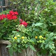 edible garden mixing ornamental and edible plants