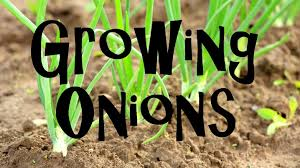 how to plant grow u0026 harvest onions from start to finish youtube