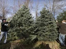 tree sales start to heat up after turkey
