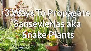 propagating native plants 3 ways to propagate sansevierias aka snake plants youtube