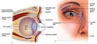 Eye Ducts Anatomy Anatomy Of The Eye The Tear Film Lids And Lacrimal Glands