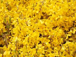 Gold Flowers Free Photo Flowers Forsythia Branches Yellow Gold Lilac Max Pixel