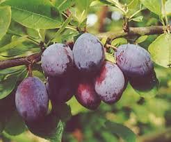 Online Fruit Trees For Sale - purple pershore plum trees for sale order online