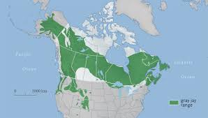 Canada National Parks Map by Meet Our National Bird The Gray Jay Canadian Geographic