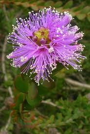 australis plants australian native plants ground cover plants garden plants u0026 flowers the home depot
