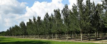 southern pride tree farm
