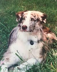 australian shepherd fur 17 best aussies images on pinterest aussies aussie dogs and