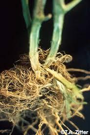 Tomato Plant Wilt Disease - symptoms of fusarium wilt on tomato plant