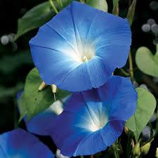 blue seed heavenly blue morning glory seeds from park seed