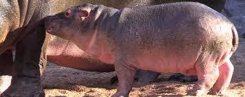hippopotamus si鑒e social 100 images si鑒e social hippopotamus