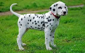 dalmatian puppies breed information u0026 puppies sale