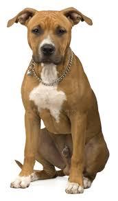 australian shepherd x pitbull american pit bull terrier