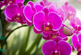 moth orchid how to care for moth orchids phalaenopsis which gardening