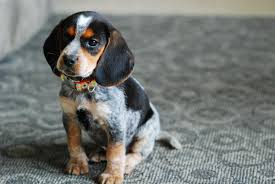 bluetick coonhound puppies illinois basic care for blue tick beagle puppies dog breeds puppies