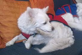 american eskimo dog in india spitz indian price in india spitz indian puppy for sale in