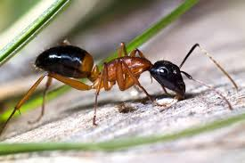 ant pest control canberra canberra pest control act 100