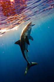 best 25 caracteristicas del tiburon ideas on pinterest dragones