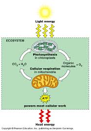 Photosynthesis And Cellular Respiration Worksheet Photosynthesis And Cellular Respiration Mrs Musto 7th Grade