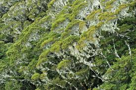 native plants of nz the future of our forests new zealand geographic
