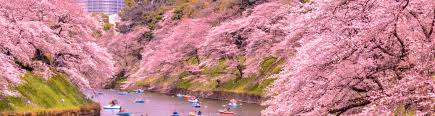 cherry blossom pics top tokyo sakura spots a cherry blossom mega guide tokyo cheapo